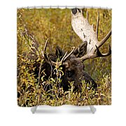 Bull Moose In Hiding Shower Curtain