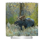 Bull Moose In The Evening Shower Curtain