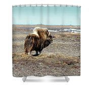 Bull Musk Ox Shower Curtain