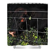 Bull Nibbling On Snowberries Shower Curtain