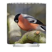 Bullfinch Shower Curtain