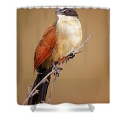 Burchell's Coucal - Rainbird Shower Curtain