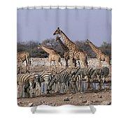 Burchells Zebra Equus Burchellii Shower Curtain