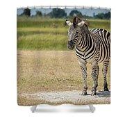 Burchell's Zebra On Grassy Plain Facing Camera Shower Curtain