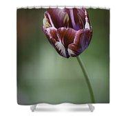 Burgandy Striped Tulip 2 Shower Curtain