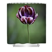 Burgandy Striped Tulip 3 Shower Curtain