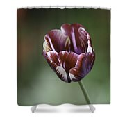 Burgandy Striped Tulip Squared Shower Curtain
