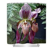 Burgundy Orchids With Stripes Shower Curtain