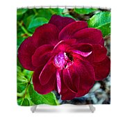 Burgundy Red Rose At Pilgrim Place In Claremont-california  Shower Curtain