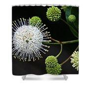Buttonbush Flowers Shower Curtain