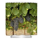 Cabernet Grapes One Shower Curtain