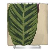 Calathea Zebrina, Maranta Zebrina Shower Curtain