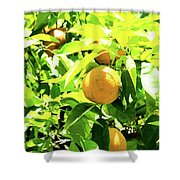California Bright Orange Fruit Tree In Downtown Sacramento In Ca Shower Curtain