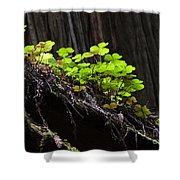 California Redwoods 4 Shower Curtain
