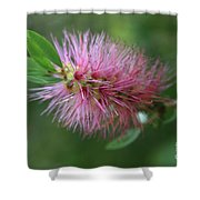 Callistemon Viminalis Taree Pink Weeping Bottlebrush Flowering Trees Of Hawaii Shower Curtain