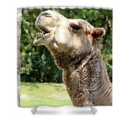 Camel Chewing Shower Curtain