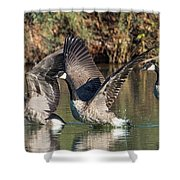 Canada Geese 5659-092217-1cr-p Shower Curtain