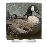Canada Goose Bathing In Lake Shower Curtain