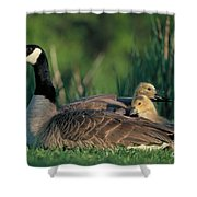 Canada Goose With Goslings Shower Curtain by Alan and Sandy Carey and Photo Researchers