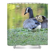 Canadian Goose Mother And Babies Shower Curtain
