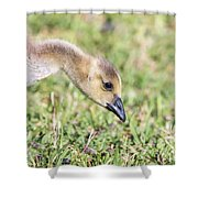 Canadian Gosling Shower Curtain