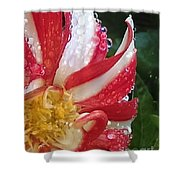 Candy Cane Dahlia Shower Curtain