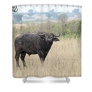 Cape Buffalo Eating Grass In Queen Elizabeth National Park, Ugan Shower Curtain