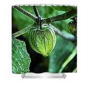 Cape Gooseberry In July Shower Curtain