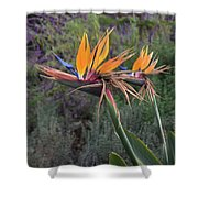 Captivating Bird Of Paradise In Full Bloom Shower Curtain