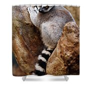 Captive Ring Tailed Lemur Perched In A Stone Tree Shower Curtain