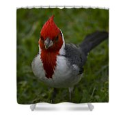Cardinal Front View In Grass Shower Curtain