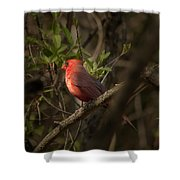 Cardinal In The Spotlight Shower Curtain