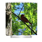 Cardinal In The Springtime Shower Curtain