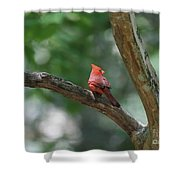 Cardinal In Tree Shower Curtain