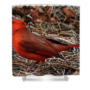 Cardinal On Pine Straw Shower Curtain