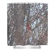 Cardinal Singing  Shower Curtain