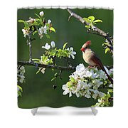 Cardinals In Spring Shower Curtain