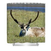 Caribou Resting In Tundra Grass Shower Curtain