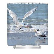 Caspian Tern Feeding Young Shower Curtain