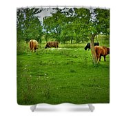 Cattle Grazing In A Lush Pasture Shower Curtain