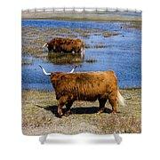 Cattle Scottish Highlanders, Zuid Kennemerland, Netherlands Shower Curtain