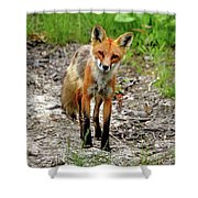 Cautious But Curious Red Fox Portrait Shower Curtain