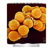 Cedar Pollen Sem Shower Curtain by Susumu Nishinaga and SPL and Photo Researchers