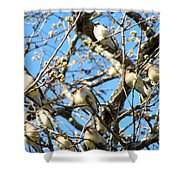 Cedar Waxwing Family Shower Curtain