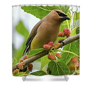 Cedar Waxwing With Mulberries Shower Curtain