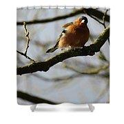 Chaffinch 3 Shower Curtain
