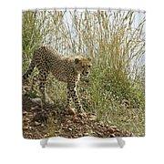 Cheetah Exploration Shower Curtain