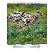 Cheetahs Acinonyx Jubatus Hunting Shower Curtain