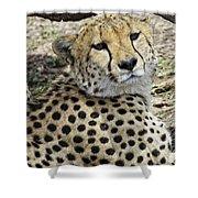 Cheetahs Resting Shower Curtain