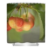 Cherries Hanging On A Branch Shower Curtain